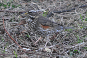 Content-image-305x205-redwing
