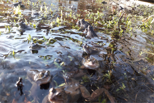 Content-image-305x205-spawning-frogs