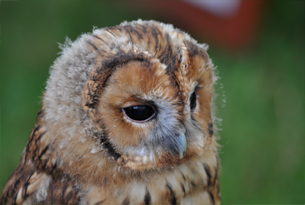Content-image-305x205-tawny-owl