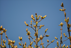 Content-image-305x205-tree-buds
