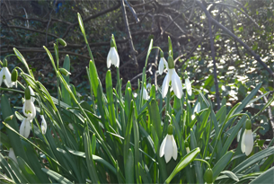 Content-page-305x205-snowdrops